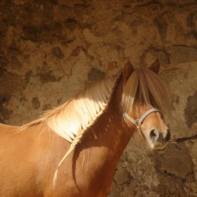 L'élevage de poneys shetland primés
