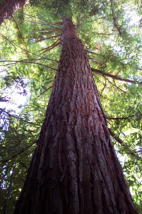le sequoia géant