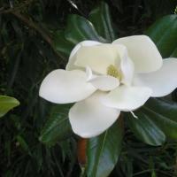 une fleur du magniolia