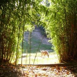 entre les bambous.....