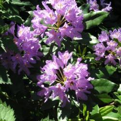 fleurs du rododhendron