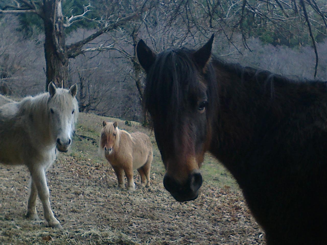 l'elevage Connemara et les double poneys