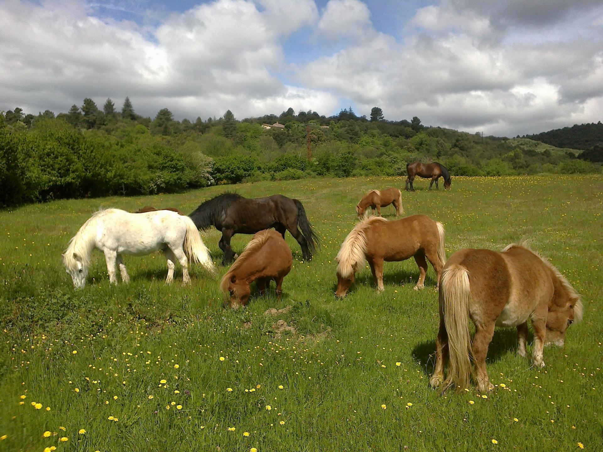 Poney a l herbe 004